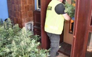 Policjanci zlikwidowali tajny pokój z marihuaną